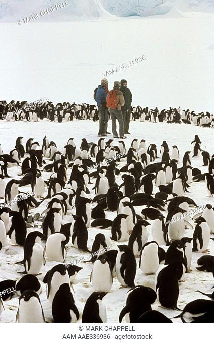 Adelie Penguin (Pygoscelis adeliae), nesting group and researchers, Palmer Station, Antarctica