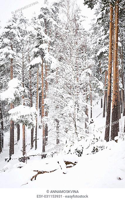 russian Winter forest snow road in winter