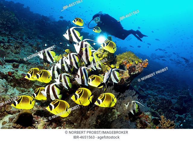 Diver watches swarm Pennant coralfish (Heniochus acuminatus) together with Raccoon butterflyfish (Chaetodon lunula), Pacific Ocean, Rangiroa, Society Islands