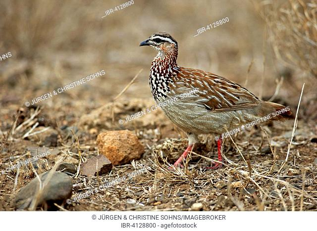 Crested Francolin (Francolinus sephaena), adult, Kruger National Park, South Africa