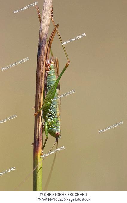 Long-winged Cone-head Conocephalus discolor - Olonne-sur-Mer, Vendee, Pays de la Loire, France, Europe