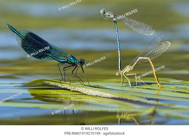 White-legged damselflies (Platycnemis pennipes) mating and Banded demoiselle (Calopteryx splendens) / Blaue Federlibellen (Platycnemis pennipes) Paarung und...