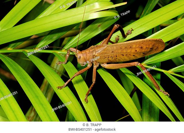 bush cricket (Stilpnochlora cf. couloniana ), sitting on a palm leaf, side view, New Caledonia, Ile des Pins