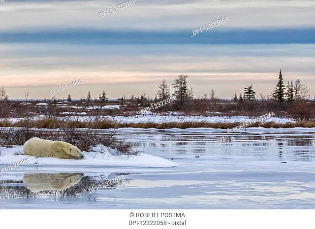 Polar bear (ursus maritimus) laying alongside a thawing pond waiting for Hudson Bay to freeze over; Churchill, Manitoba, Canada