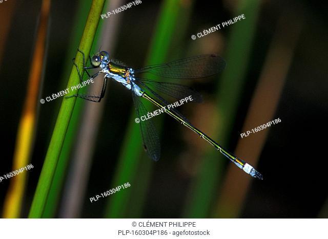 Emerald damselfly / common spreadwing (Lestes sponsa) on stem in wetland