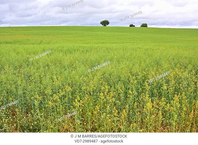 Colza or oilseed rape (Brassica napus oleracea) is widely cultivated as fodder and to produce edible oil. This photo was taken in Tierra del Pan, Zamora