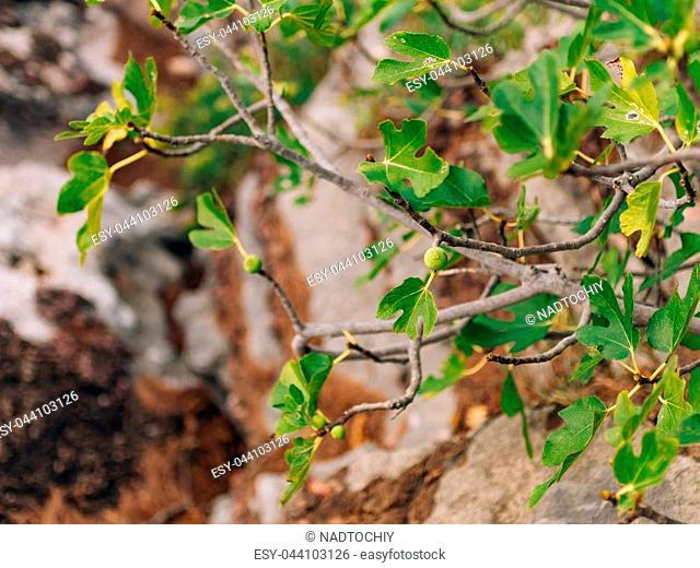 Fig trees, small fruits. Ripening figs on the tree