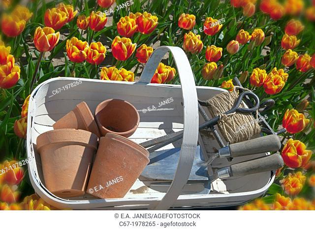 Garden trug and tools in Tulips Swaffham Norfolk