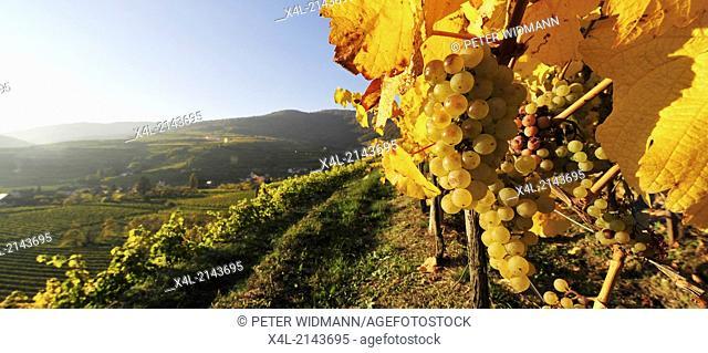 vine, Austria, Lower Austria, Wachau