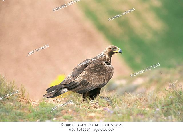 Wild Golden eagle preying on. (Aquila Chrysaetos)