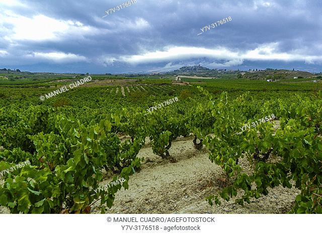 Vineyard, Laguardia area, Rioja Alavesa, Basque Country, Spain