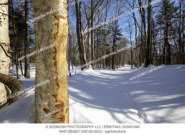 Basal scar on birch tree along a skid road in Unit (or zone) 47 of the Kanc 7 Timber harvest project along the Kancamagus Scenic Byway (route 112) in the White...
