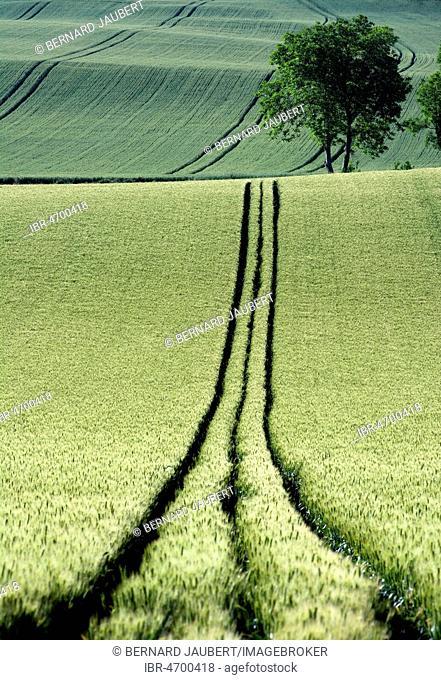 Tire tracks in the middle of a field of corn, Limagne plain, Puy de Dome department, Auvergne-Rhône-Alpes, France