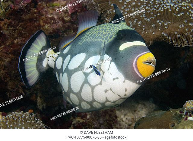 Indonesia, clown triggerfish (balistoides conspicillum) and cleaner wrasse