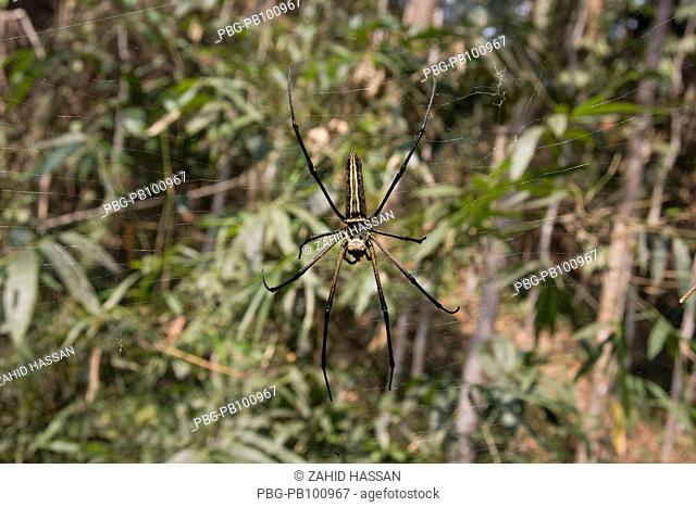 A spider on its web, in the Lawachara Rain Forest in Srimangal, Moulvibazar, Bangladesh March 2009