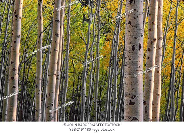 Evening light and shadows on trunks and yellow autumn leaves of quaking aspen (Populus tremuloides) in fall, White River National Forest, Colorado, USA
