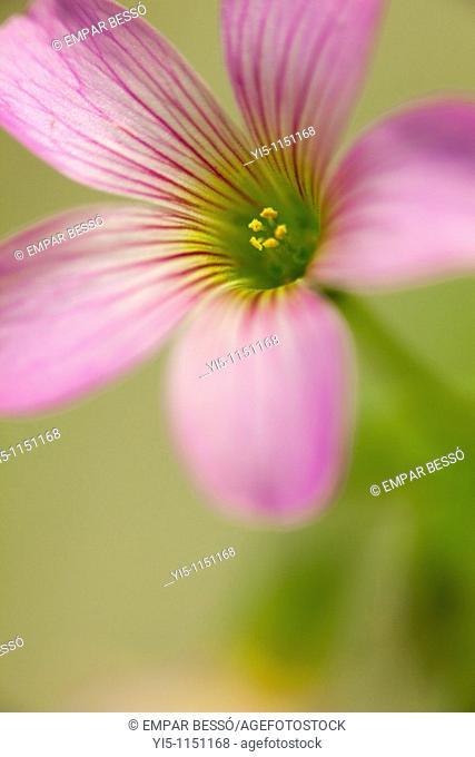 oxalis articulata, pink wood sorrel
