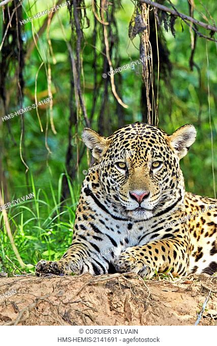 Brazil, Mato Grosso, Pantanal region, jaguar (Panthera onca), relaxing on the edge of a river
