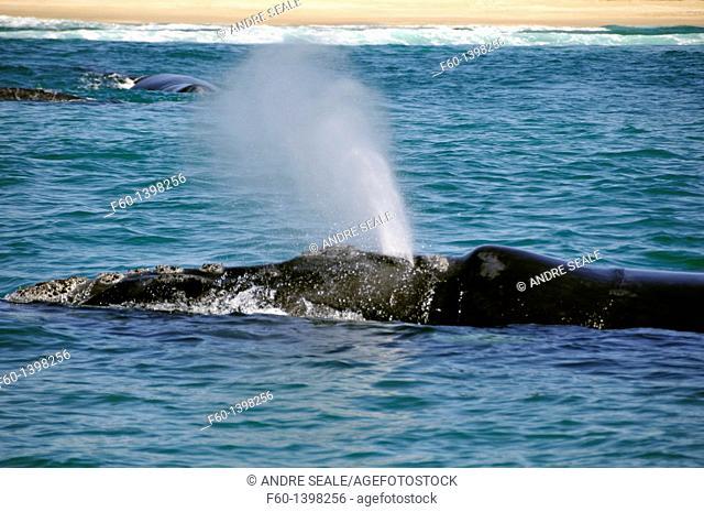 Southern right whale, Eubalaena australis, spouting near beach, Imbituba, Santa Catarina, Brazil, South Atlantic
