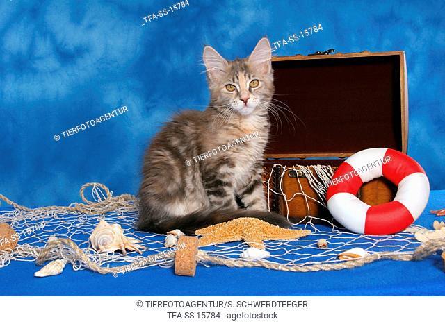 sitting Maine Coon kitten
