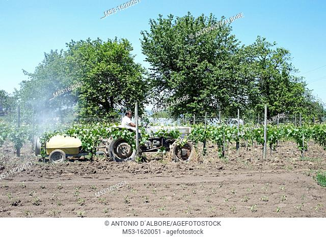 A farmer driving an agricultural tractor linked to a fertilizer spreader  It spray a mixture of sulfur and water over a grapevines plantation  Sant'Agata dei...