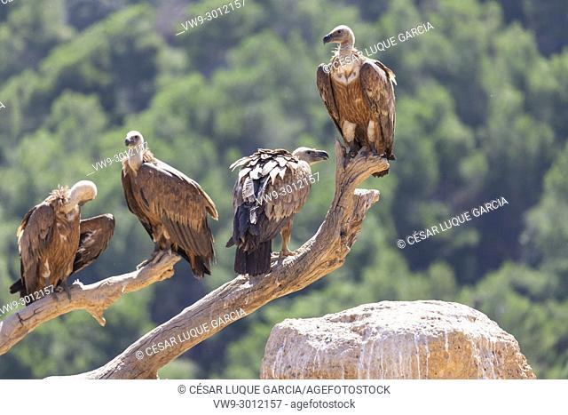 group of vultures resting on a branch after feeding. Mas de Bunyol, Valderrobres, Aragon, Spain