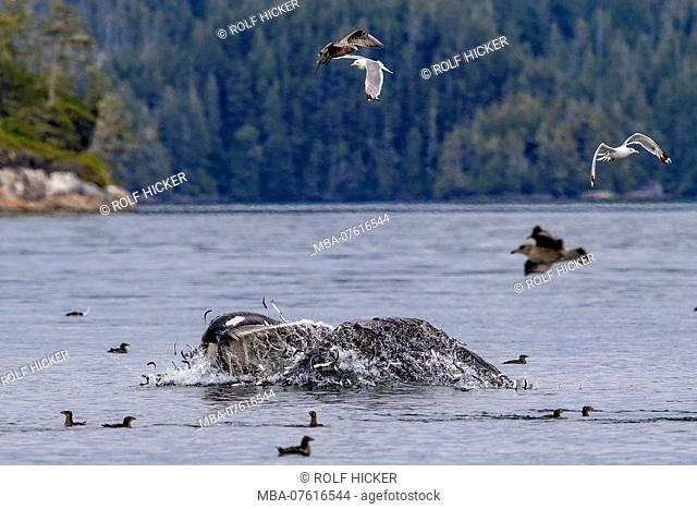 Humpback whale (Megaptera novaengliae) lunge feeding in the Broughton Archipelago, First Nations Territory, British Columbia, Canada