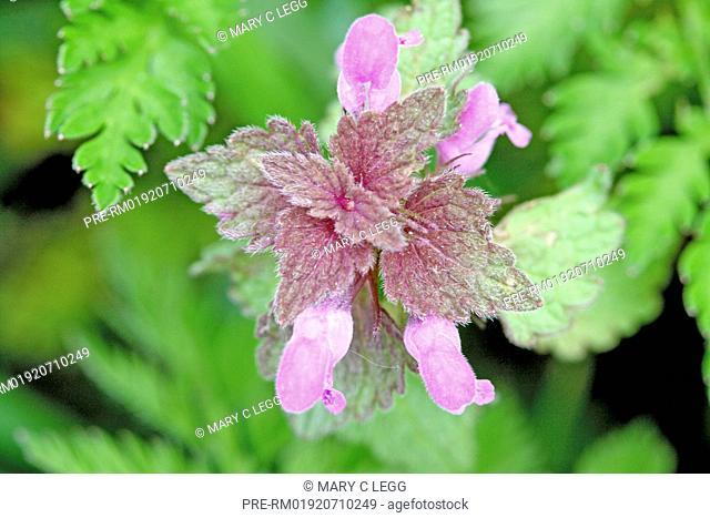 Lamium maculatum / Lamium maculatum
