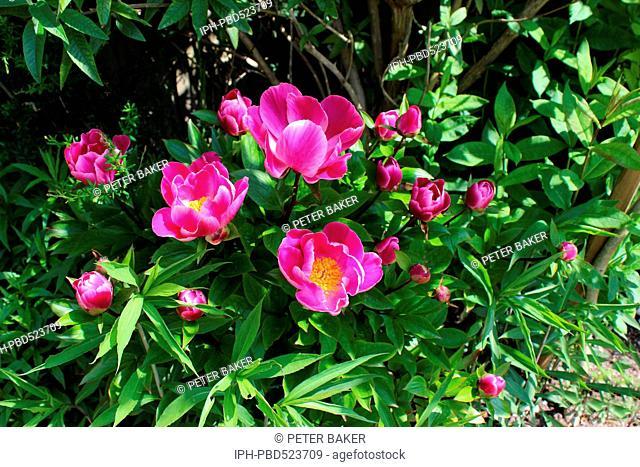 England Dorset Garden Flower Peony (anemone) Globe of Light