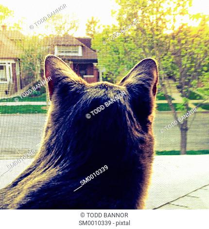Gray tabby cat looking out screened second story window of house on suburban street. Viewed from behind