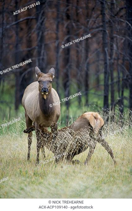 Cow and Calf Elk, Cervus canadensis nelsoni, Rocky Mountains, Alberta, Canada
