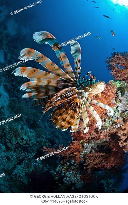 Lionfish Pterois volitans  Egypt, Red Sea