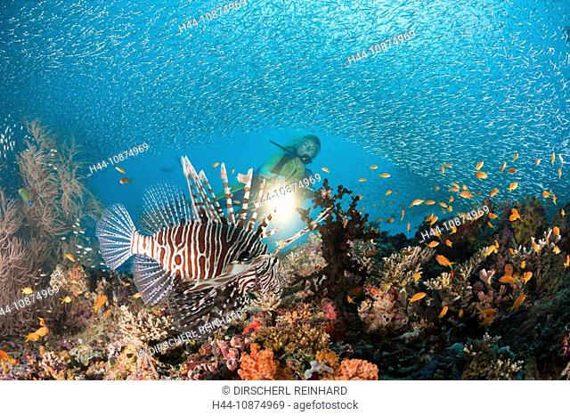 Rotfeuerfisch an buntem Riff, Pterois miles, Maya Thila, Nord Ari Atoll, Malediven, Lionfish at Coral Reef, Pterois miles, Maya Thila, North Ari Atoll, Maldives