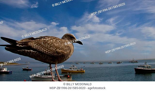 A Juvenile Herring Gull Overlooking Small Fishing Boats Moored in Aunt Lydia's Cove, Chatham, Massachusetts, USA