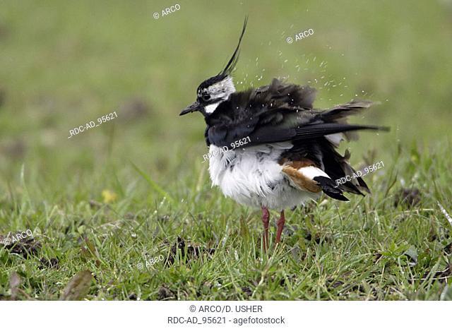 Lapwing male England Vanellus vanellus