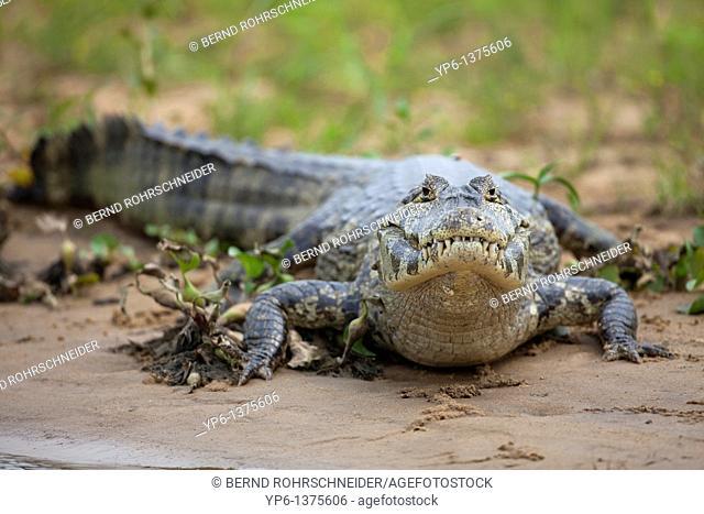 Yacare Caiman Caiman yacare lying on river bank, Pantanal, Brazil