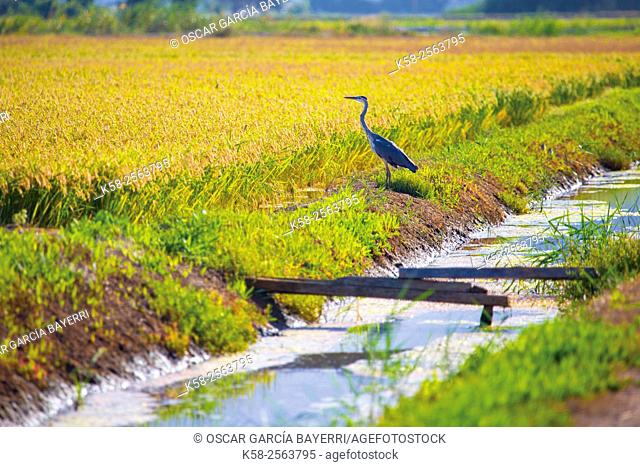 Heron in the Ebro delta with water channel and rice