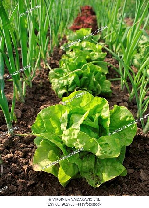 lettuce growing in soil