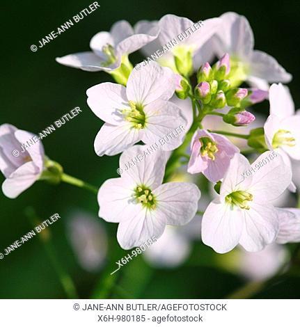 Taste of Spring Wood Anemones