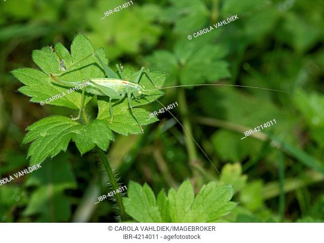 Southern oak bush cricket (Meconema meridionale), female, Mecklenburg-Western Pomerania, Germany