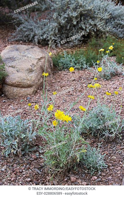Three groups of Desert Marigold flowers growing in a rocky bed in the desert of Arizona, USA