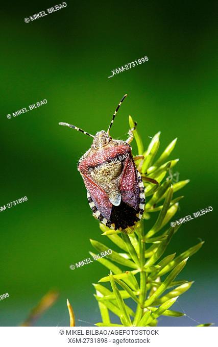Sloe bug (Dolycoris baccarum). Irache, Ayegui, Navarre