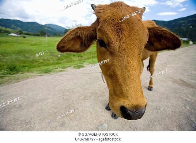 Guatemala, Huehuetenango, San Gaspar Ixel, Cow