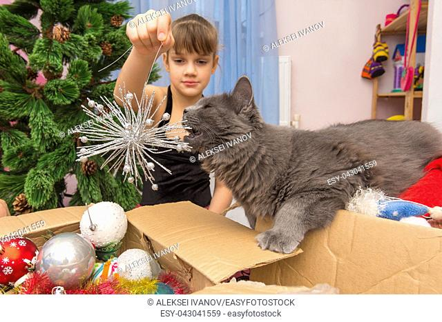 A house cat nibbles a Christmas tree decoration in the hands of a girl