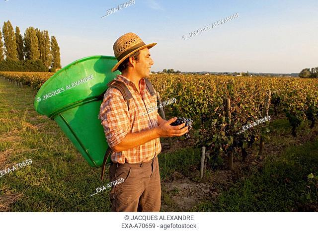 Wine harvest in St. Emilion, Bordeaux, France