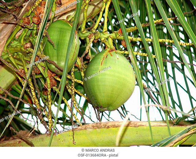 a natural small green coconut fruit