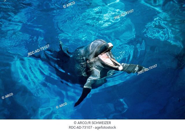 Bottlenose Dolphin Tursiops truncatus