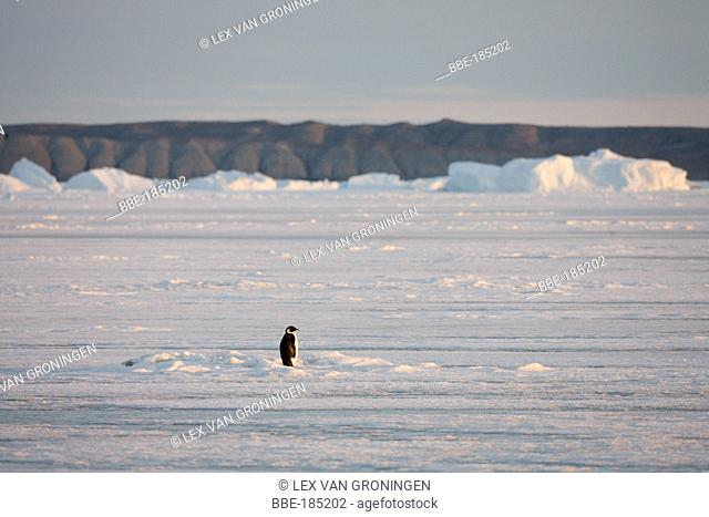 This Emperor Penguin (Aptenodytes forsteri) remained motionless for a long time standing in the rays of the evening sun Admiralty Sound