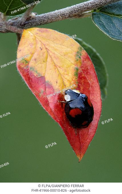 Harlequin Ladybird Harmonia axyridis introduced species, black form, adult, on cotoneaster leaf in garden, Leicestershire, England, autumn