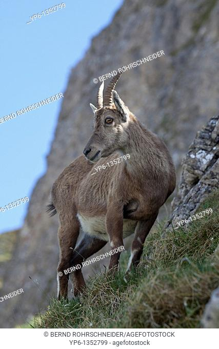 female Alpine Ibex Capra ibex, Niederhorn, Bernese Oberland, Switzerland